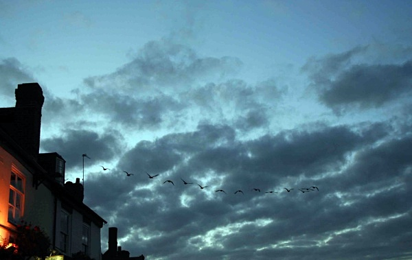 geese - miscellaneous