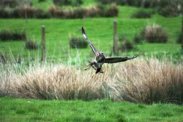 gigrin farm wales red kite bird of prey