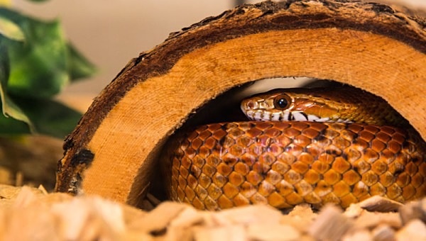 corn snake snakes vivarium reptile