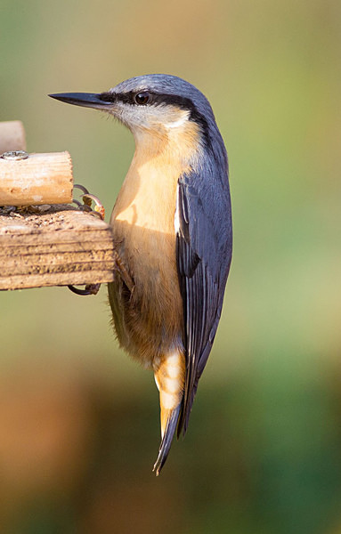 Nuthatch - Birdies and other Moving Things