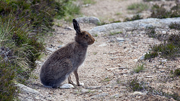Mountain Hare - Birdies and other Moving Things
