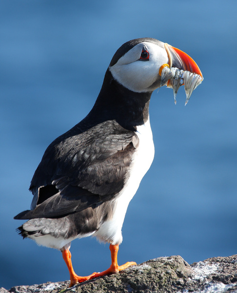 Puffin Mouthful - Birdies and other Moving Things