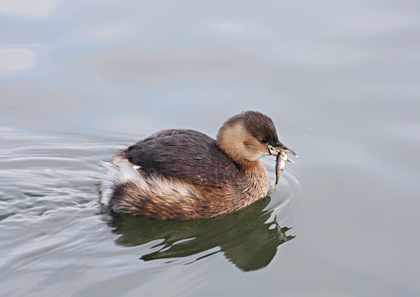 Little Grebe with lunch - Birdies and other Moving Things