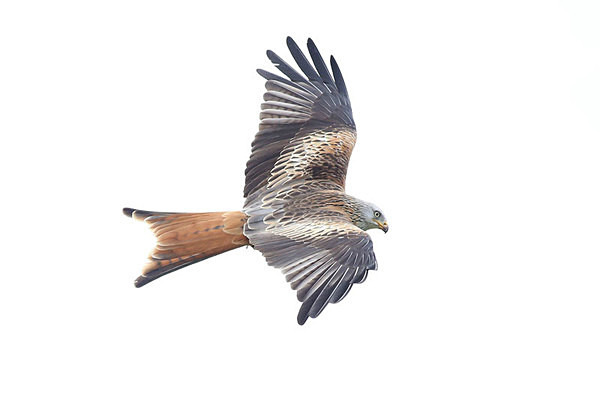 Red Kite 5 - Birdies and other Moving Things