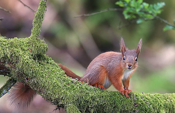 Red Squirrel - Birdies and other Moving Things