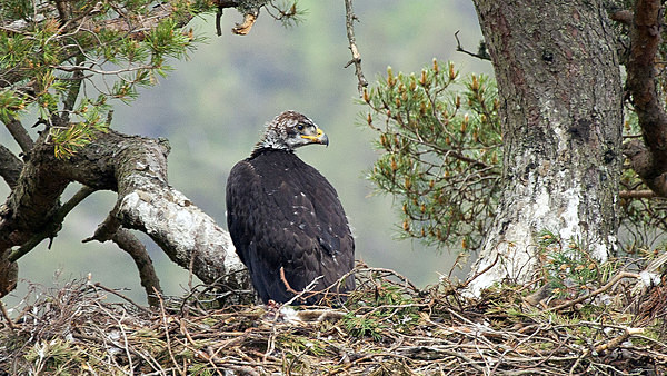 Golden Eagle chick - Birdies and other Moving Things