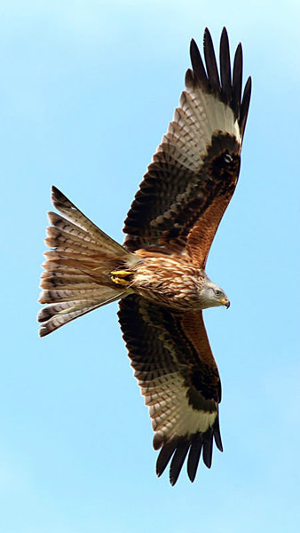 Red Kite 4 - Birdies and other Moving Things