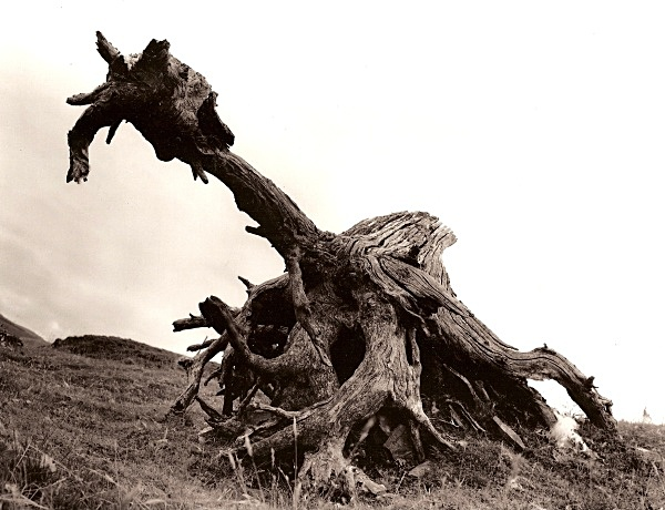 DEAD TREE ROOTS, Cefn Coch, Cwmystwyth, Ceredigion 2009 - THE WELSH LANDSCAPE