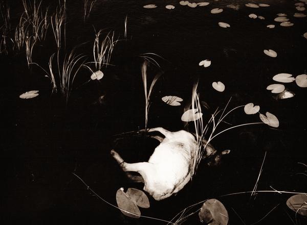 DEAD SHEEP AT TEIFI POOLS, Ceredigion 1993 - THE WELSH LANDSCAPE