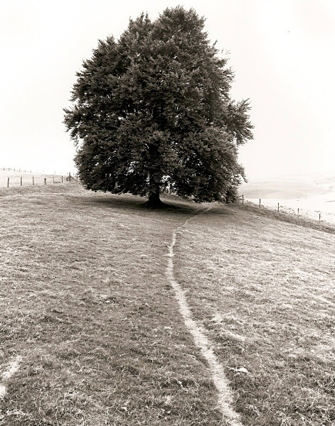 BEECH TREE AT LLUEST ABER CANOL, Elan Valley, Rhadnorshire 2010 - THE WELSH LANDSCAPE