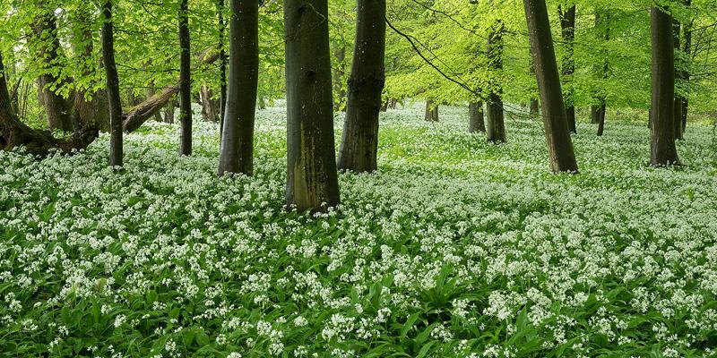 Wild Garlic, Spring - Woodland