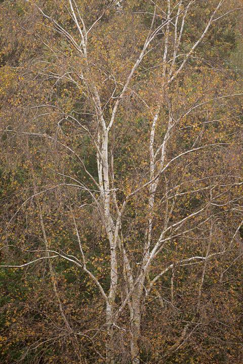 Birch Symmetry, Chailey - Woodland