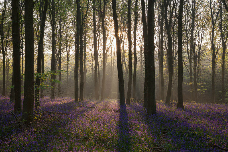 Bluebell Essence - Woodland