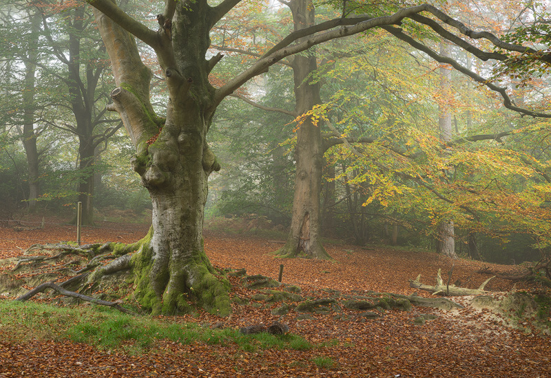 Early Autumn, Ashdown Forest - Woodland