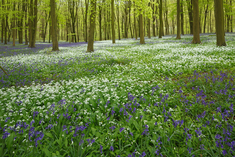 Wild garlic and Bluebells - Woodland