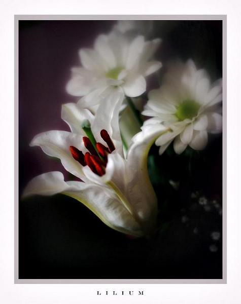 Lilium and Chrysanthemum - Still Life