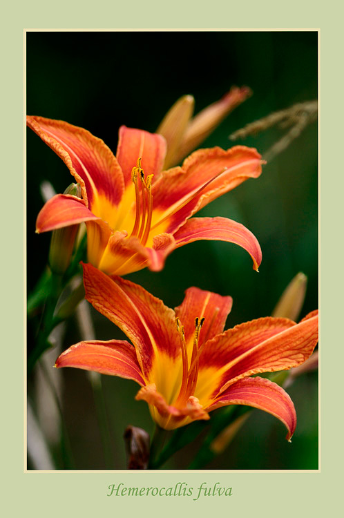 Hemerocallis fulva - Garden perennials