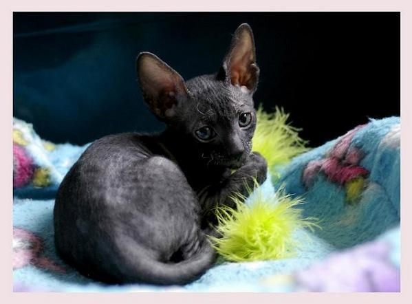 5 weeks - Alchemist Regina - Linssi's kittens
