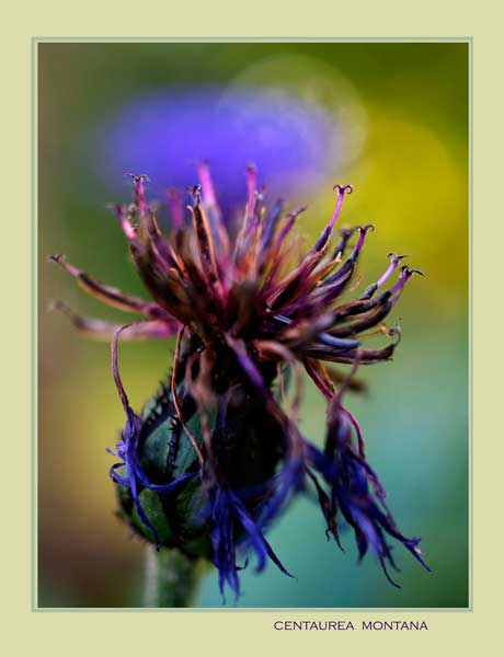 Centaurea montana 4 - Garden perennials
