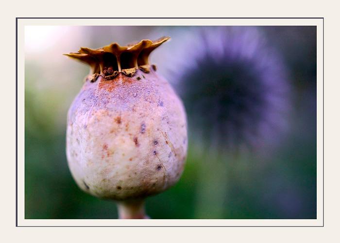Opium and Echinops - Still Life