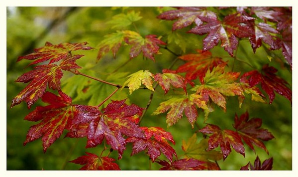 Acer pseudosieboldianum 2 - Trees and Shrubs