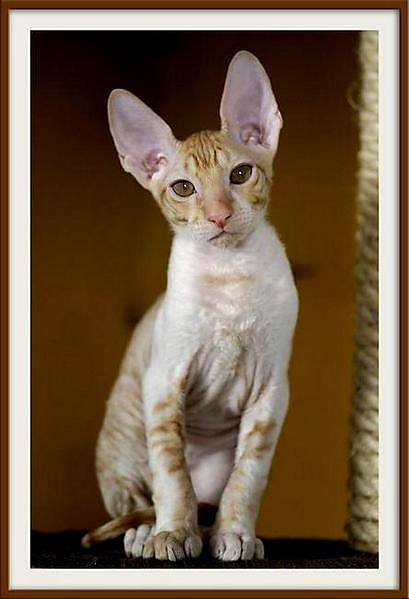 Alchemist  Remus - Linssi's kittens