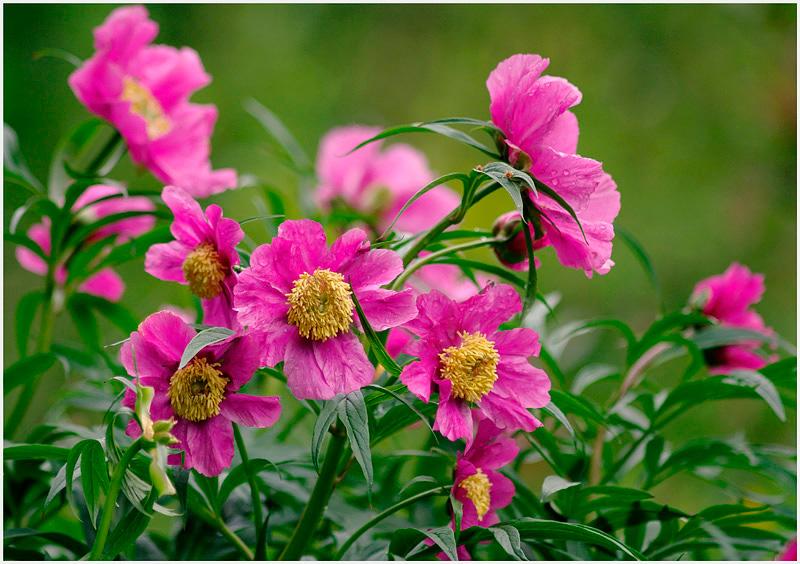 Paeonia veitchii 1 - Garden perennials