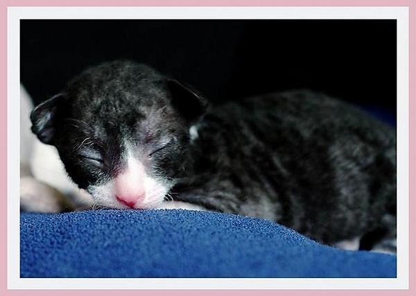 12 days - b/w girl - Linssi's kittens - the 2nd litter