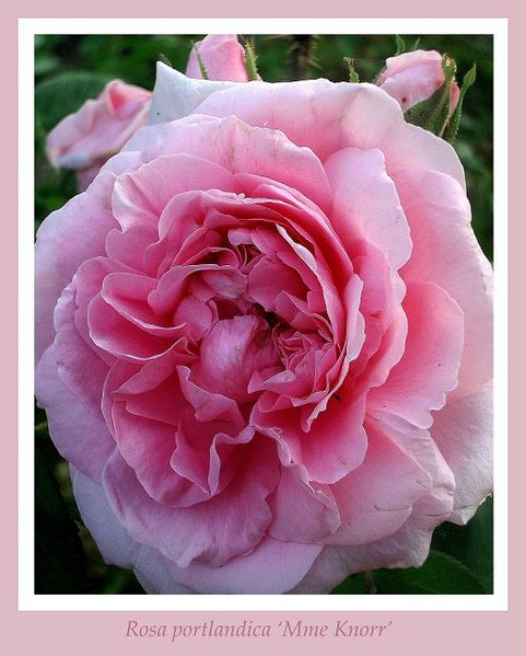 Rosa 'Mme Knorr' 3 - Roses