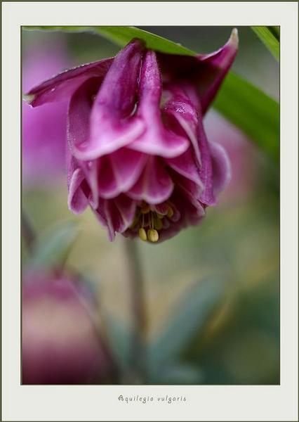 Aquilegia vulgaris 1 - Garden perennials