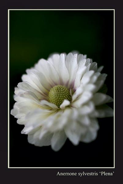 Anemone sylvestris 'Plena' - Garden perennials