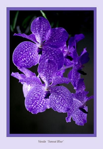 Vanda 'Sansai Blue' - Orchids