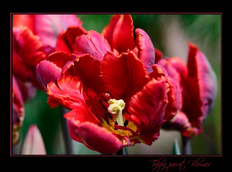 Tulipa parrot 'Blumex' - Garden perennials