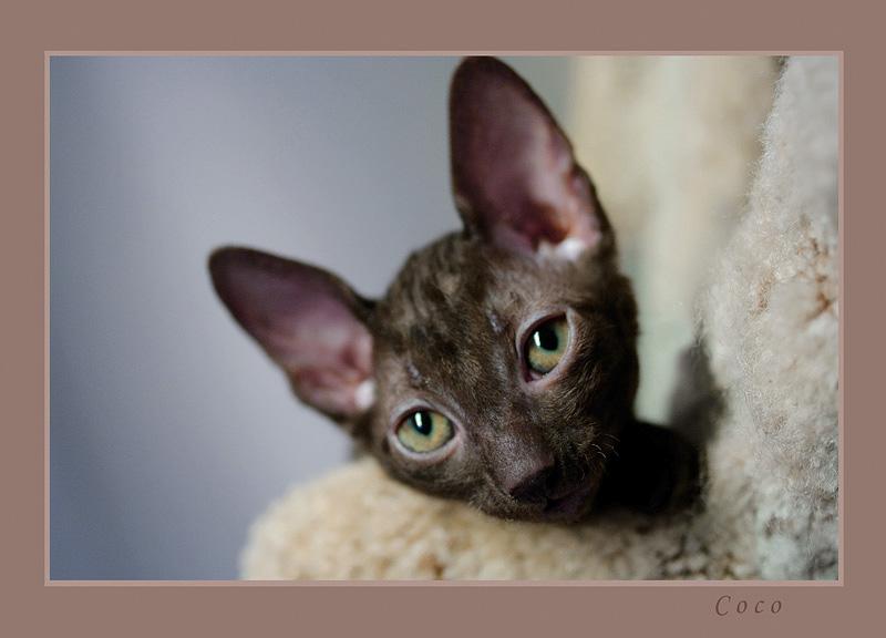 Coco 7 weeks - 1 - Mimmi's kittens