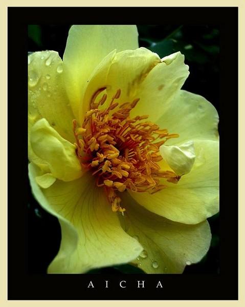 Rosa 'Aicha' 3 - Roses