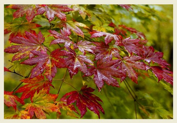 Acer pseudosieboldianum 1 - Trees and Shrubs