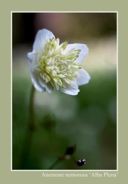 Anemone nemorosa 'Alba Plena' - Garden perennials