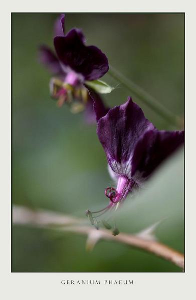 Geranium phaeum 2 - Garden perennials