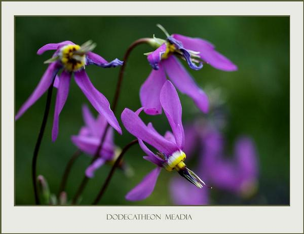 Dodecatheon meadia 1 - Garden perennials