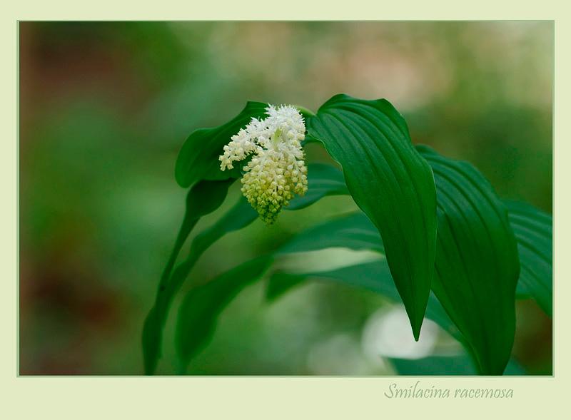Smilacina racemosa - Garden perennials