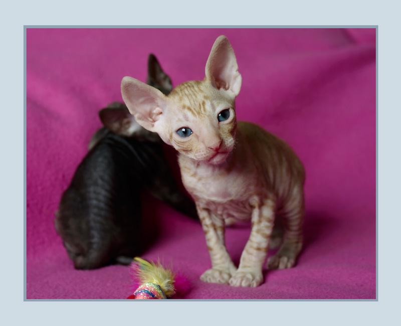 Dexter 3 weeks - 1 - Mimmi's kittens