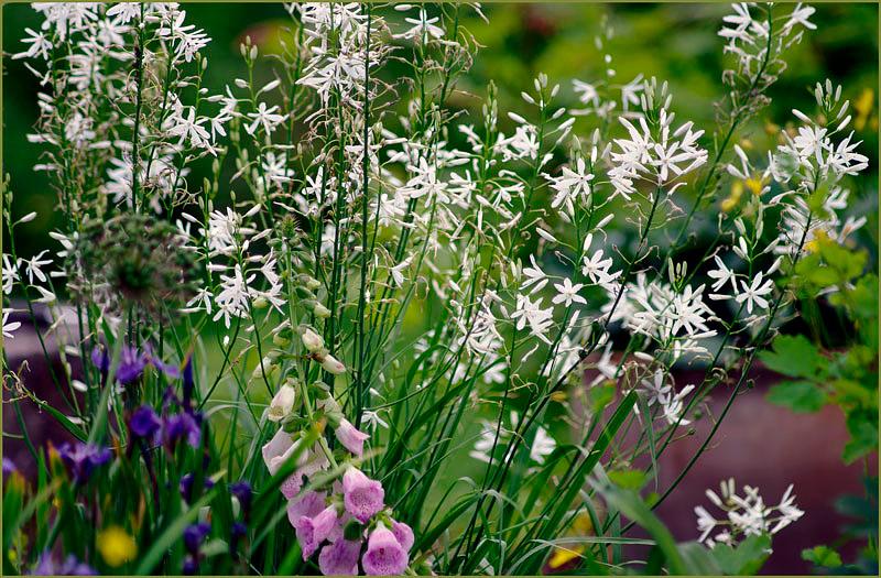 Anthericum liliago - Garden perennials