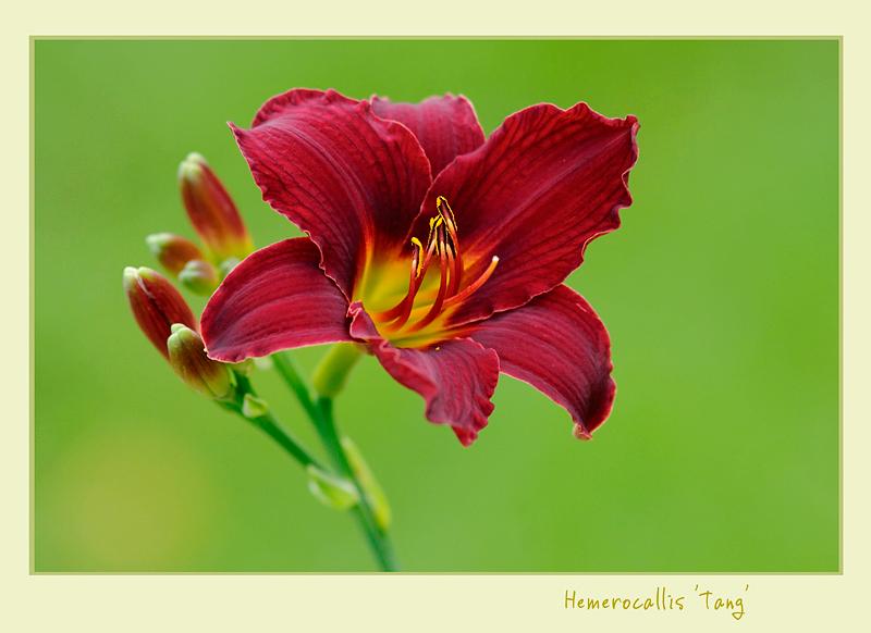 Hemerocallis 'Tang' - Garden perennials