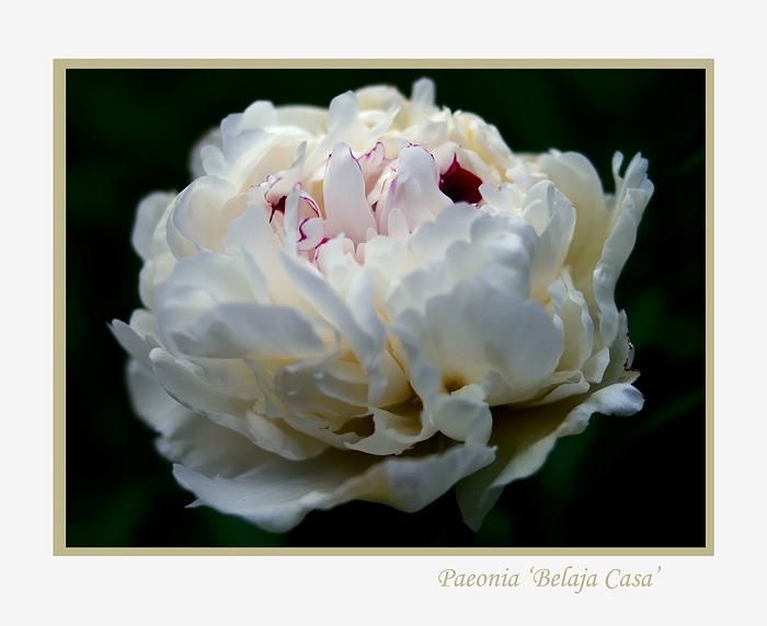 Paeonia lactiflora 'Belaja Casa' - Garden perennials