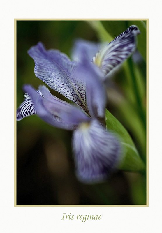 Iris reginae - Garden perennials