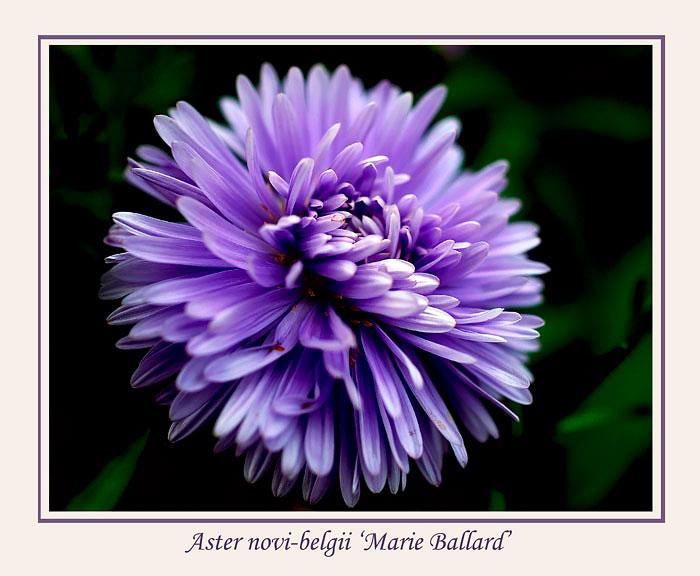 Aster novi-belgii 'Marie Ballard' - Garden perennials
