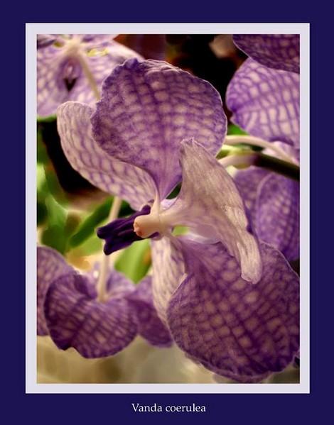 Vanda coerulea 1 - Orchids
