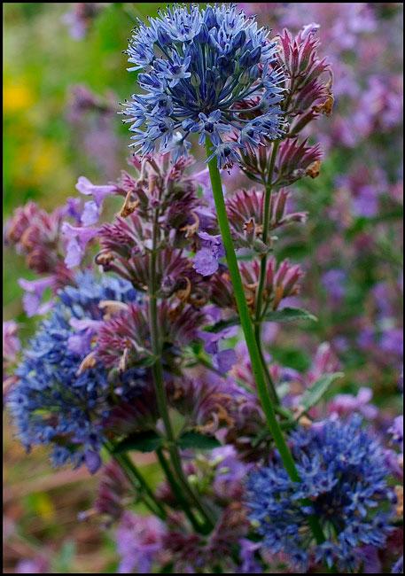 Allium caeruleum - Garden perennials