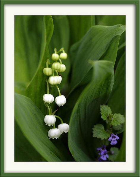 Convallaria majalis - Garden perennials