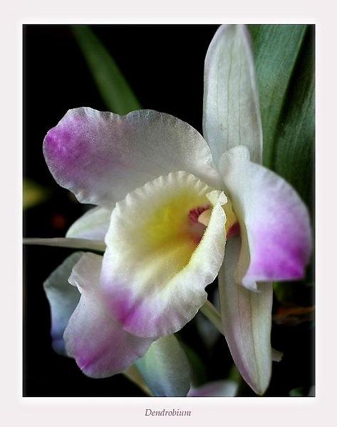 Dendrobium nobile hybr. 4 - Orchids
